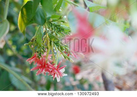 beautiful pink rangoon creeper flower in garden