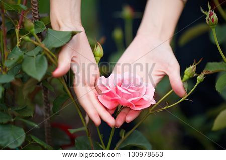 Closeup of woman's hands holding pink rose in garden