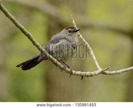 A Gray Catbird (Dumetella carolinensis) on a branch, shown in right profile.