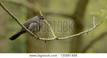 A Gray Catbird, (Dumetella carolinensis) perched on a tree limb in the spring.  Photogrpahed in York County Pennsylvania, USA.