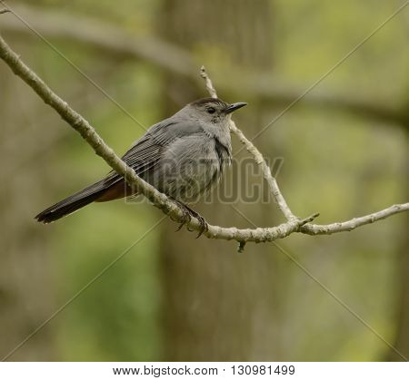 A Gray Catbird (Dumetella carolinensis) perched on a branch in a wooded area.