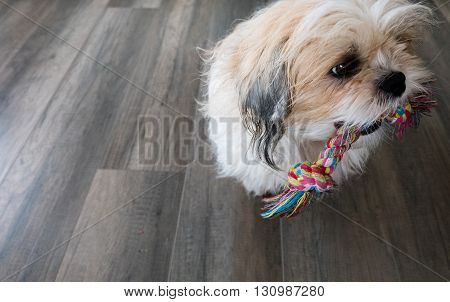 A Dog is playing with a toy