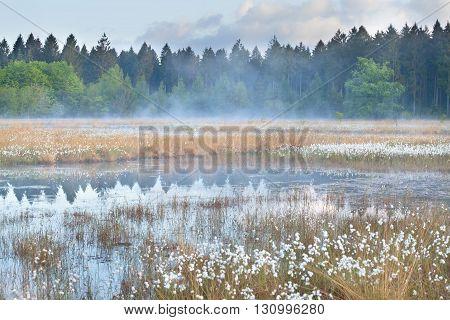 misty morning on wild forest swamp Drenthe Netherlands
