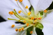 Stems of white flowers of apple tree - image with shallow dof. poster