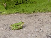 green frog ashore lake coated of green algae poster