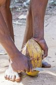 Unrecognizable man peeling a ripe coconut by removing the external coat and fibers that wrap the hard shell of the fruit. From such fibers is extracted the coir poster