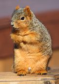 cute squirrel standing and begging for food. poster
