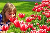 little girl smells red tulips on the flower-bed poster
