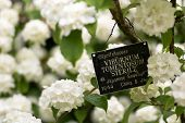 Japanese snowball bush, Viburnum plicatum f. tomentosum 'Sterile' with sign. White lacecap-like flowers of shrub in family Adoxaceae surrounding sign with old taxonomic name and placement poster