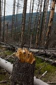 Withered coniferous forest in the mountainous terrain Beskid Slaski Skrzyczne area Poland poster