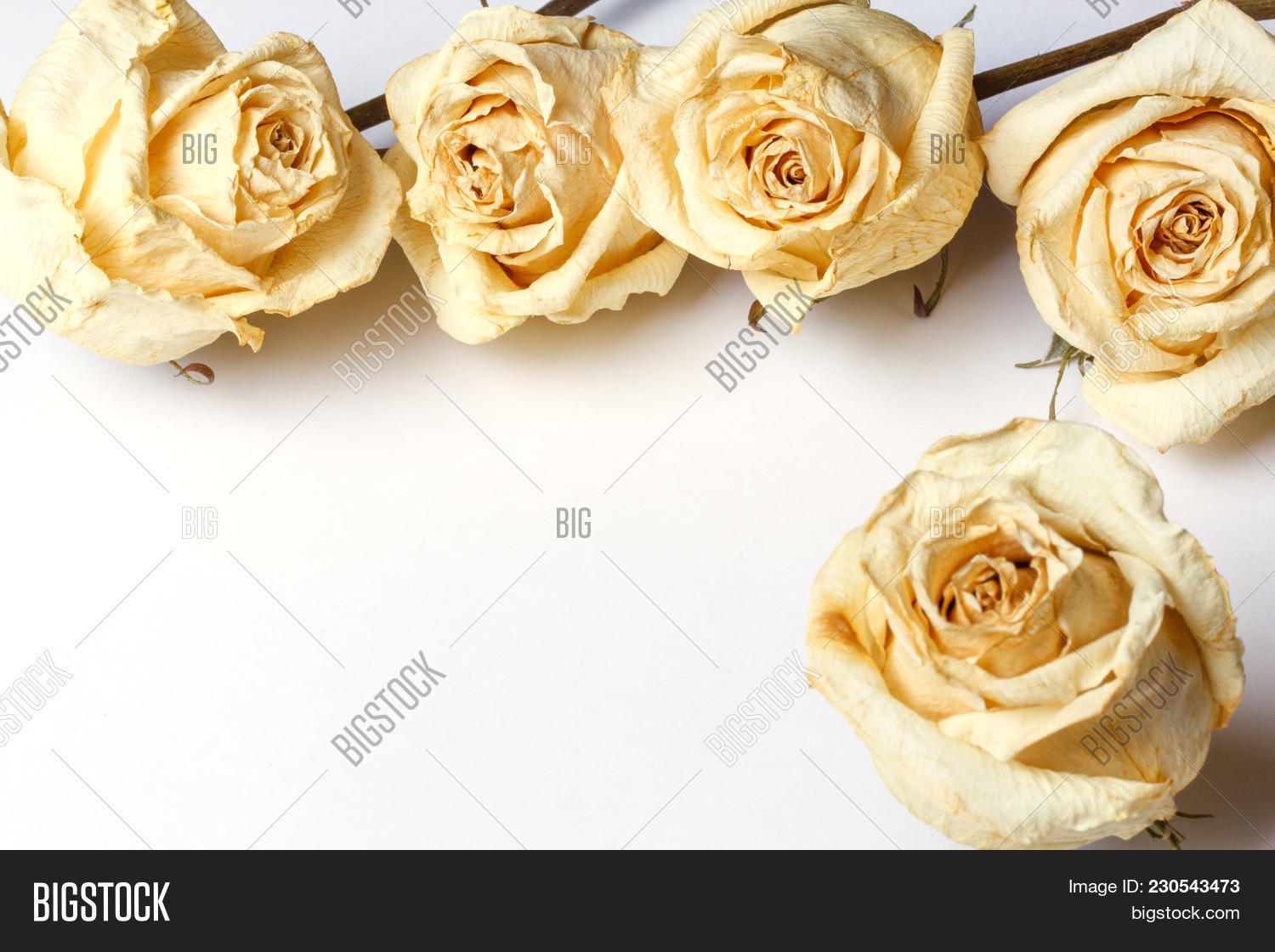 Dried White Roses Image Photo Free Trial Bigstock