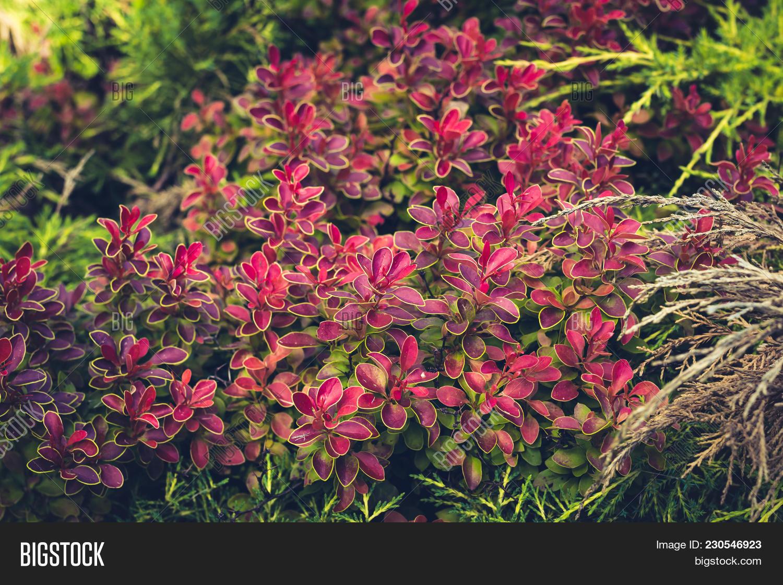 Decorative Bush Pink Image Photo Free Trial Bigstock
