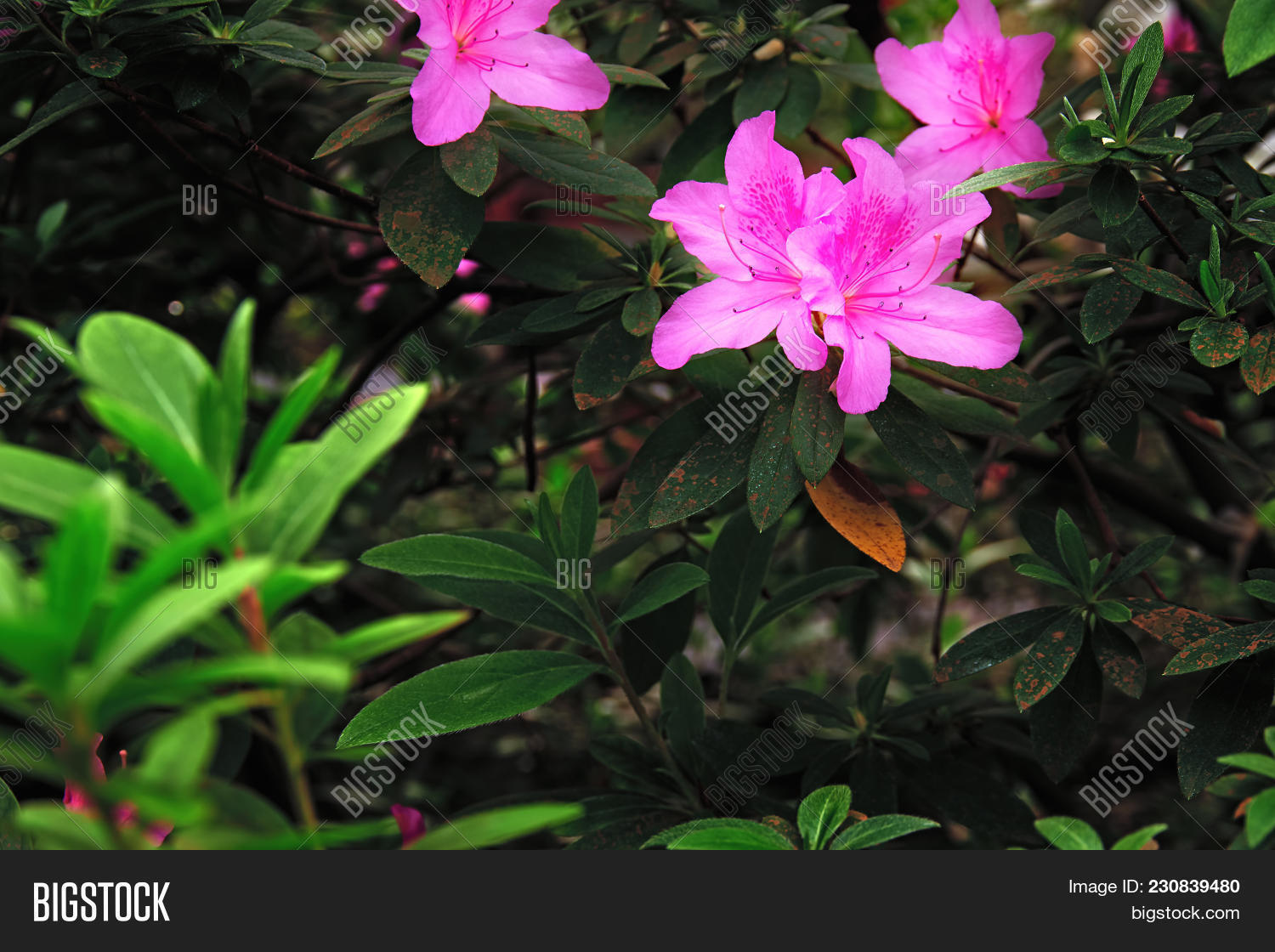 Brightly Pink Flowers Image Photo Free Trial Bigstock