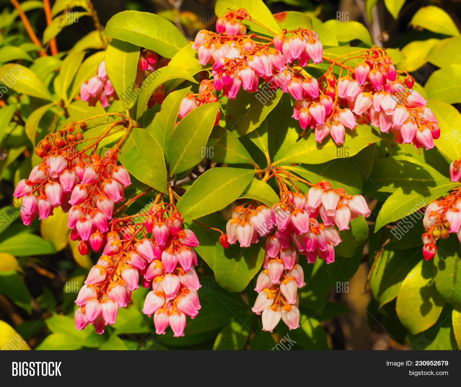 Little bright pink bell flowers on image photo bigstock little bright pink bell flowers on a pieris japonica bush vibrant pink bell flower clusters mightylinksfo