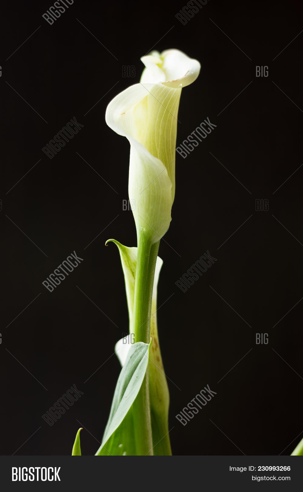 White calla lily image photo free trial bigstock white calla lily flower on a black background izmirmasajfo
