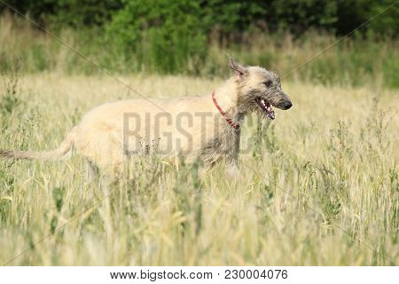 Irish Wolfhound Running In Nature