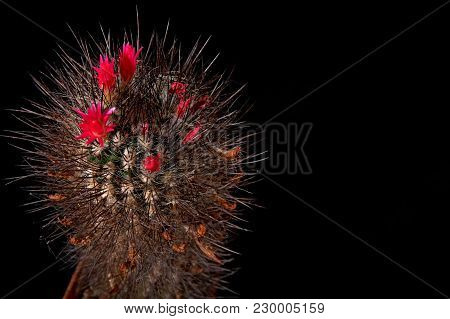 Cactus Blooms Colorful Red Flowers Isolated On Black Background For Cut Out. Gorgeous Flowering Cact