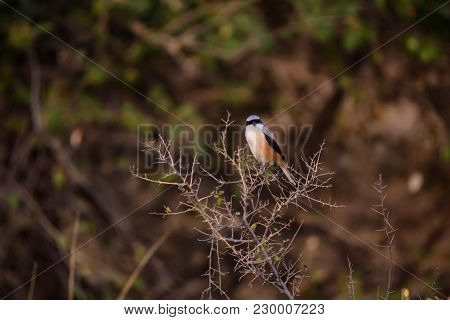Beautiful A Adult Long-tailed Shrike Or Rufous-backed Shrike Know As Lanius Schach Perches On The Sm
