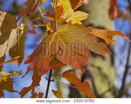 Wilted Leaves Of A Maple Tree In Autumn