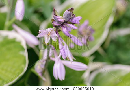 Hosta Flowers With The Drops Of Dew On Natural Background