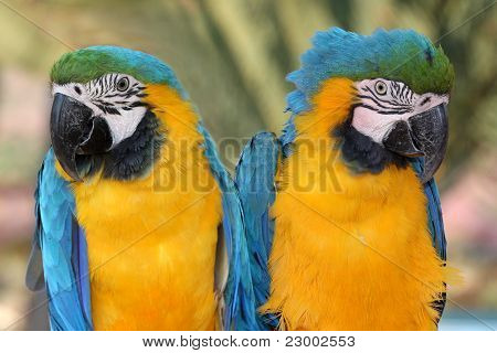 Maccaw Parrot Pair