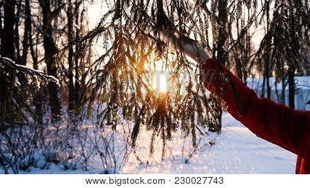Woman Hand In A Mitten Shakes Snow From A Spruce Branch, A Hand Beats Along A Fluffy Branch At Sunse