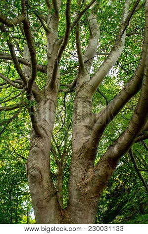 Silver Sycamore Tree Trunk Into A Green Canopy