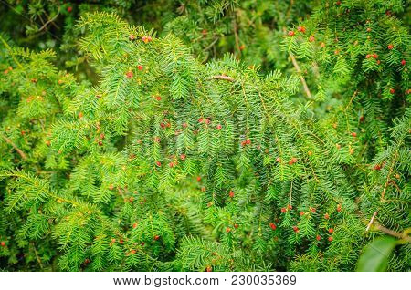 European Yew Taxus Baccata Is A Conifer Native To Western, Central And Southern Europe, Northwest Af