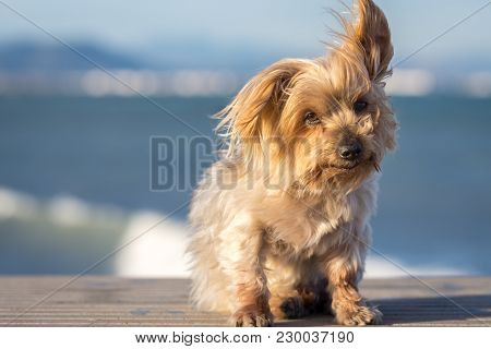 Dog Curiosity Expression. Doggy, Yorkshire Terrier Brown