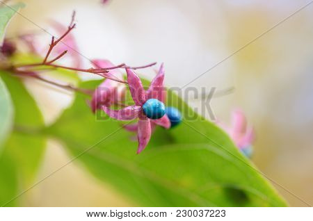 Clerodendrum Trichotomum Or Harlequin Glorybower Or Harlequin Glory Bower Flowers And Fruit.
