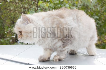 Persian Cat, A Breed Of Long-haired Cats, One Of The Oldest And Most Popular In The World Close Up.