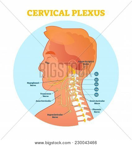 Cervical Plexus Anatomical Nerve Diagram, Vector Illustration Medical Scheme With Human Head And Nec