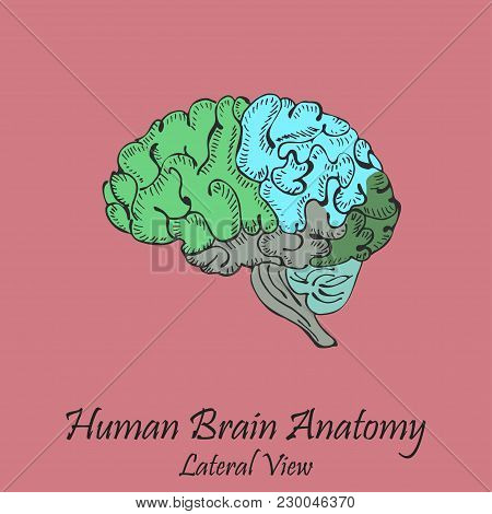 Hand Drawn Coloured Human Brain In Lateral View On The Pink Background With The Inscription. Human A