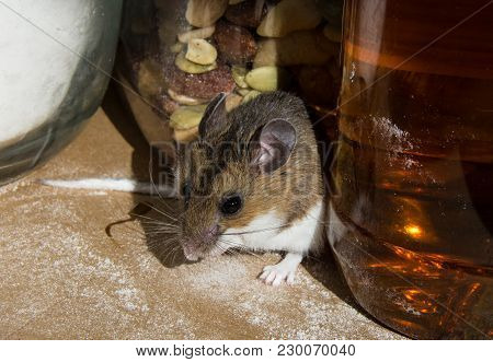 A Wild Brown House Mouse Nestled Between Food Containers In A Kitchen Cabinet. The Rodent Is Facing