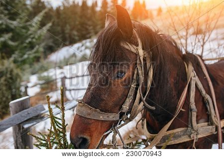 Closed Up Portrait Of Brown Harnessed Horse On The Background Of