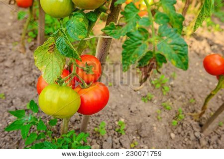Ripe Tomatoes Growing On The Branches, Cultivated In The Garden, Gardening, Agriculture And Culinary