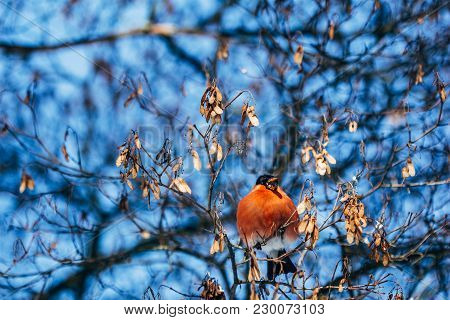 Bird Bullfinch With Red Breast Eats Dry Grains On Tree Branches In Winter Time