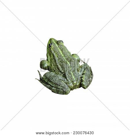 Green Frog Isolated On White Background Photo