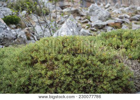 Specimen Of The Broom Genista Hispanica Subsp. Occidentalis. Photo Taken In Saliencia Valley, Somied