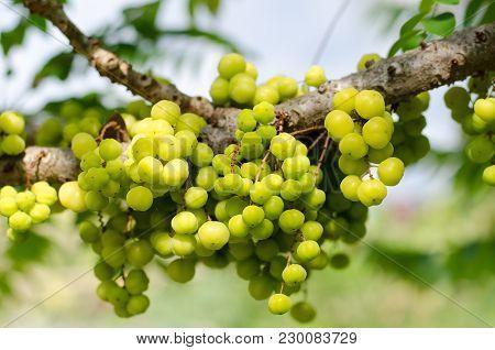 Fresh Star Gooseberry Fruit On The Tree, Tropical Fruit, Thai Fruit