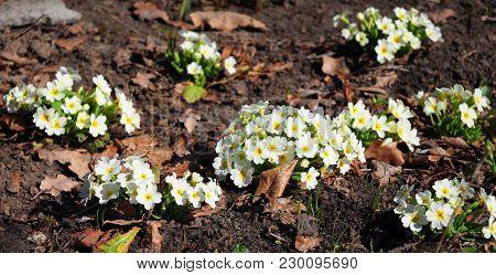 Beautiful Panorama View On Spring Bloosom Of Primula Flowers (primula Vulgaris)