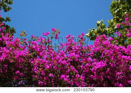 A Lot Of Purple Flowers Growing On The Wall, Against The Background Of The Saturated Blue Sky, Trees