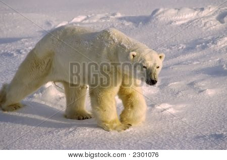 Polar Bear In Low Arctic Sunlight
