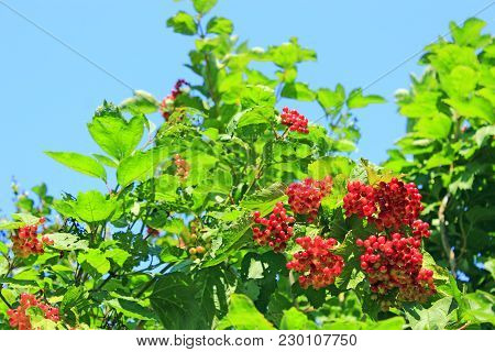 Ripe Fruits Of Guelder-rose Hang On The Branches. Ripe Fruits Of Viburnum