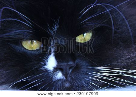 Feline Muzzle Lying And Sleeping. Cat Close Up. Black Cat Sleepeng. Lazy Cat. Domestic Animal