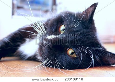 Black Cat Lying On Floor. Feline Muzzle. Lazy Cat Close Up Laying On Floor. Domestic Animal