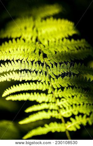 Beautiful Fern Leaves Green Foliage Natural Floral Fern Background In Sunlight.a