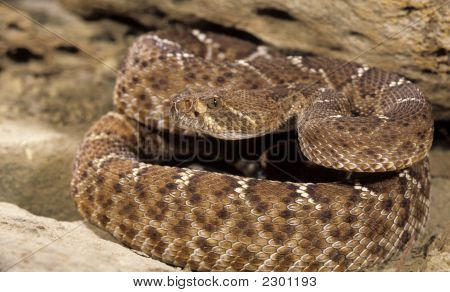 Red diamondback rattlesnake poised to strike at prey poster