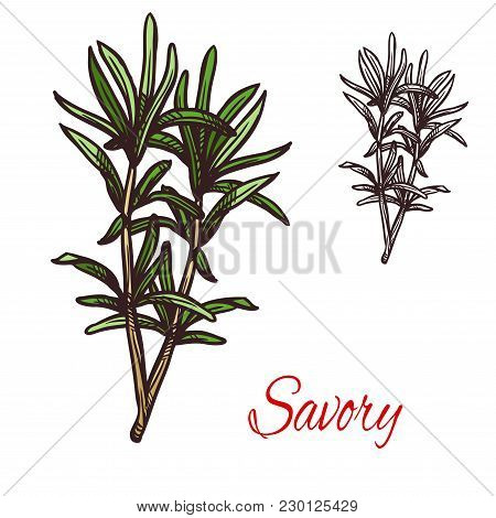 Savory Seasoning Plant Sketch Icon. Vector Isolated Savory Herbal Bitter Spice For Culinary Cuisine