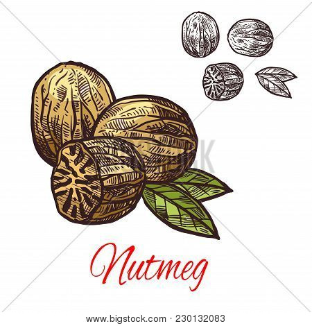 Nutmeg Spice Seasoning Plant Sketch Icon. Vector Isolated Nutmeg Fragrant Nut For Culinary Cuisine C